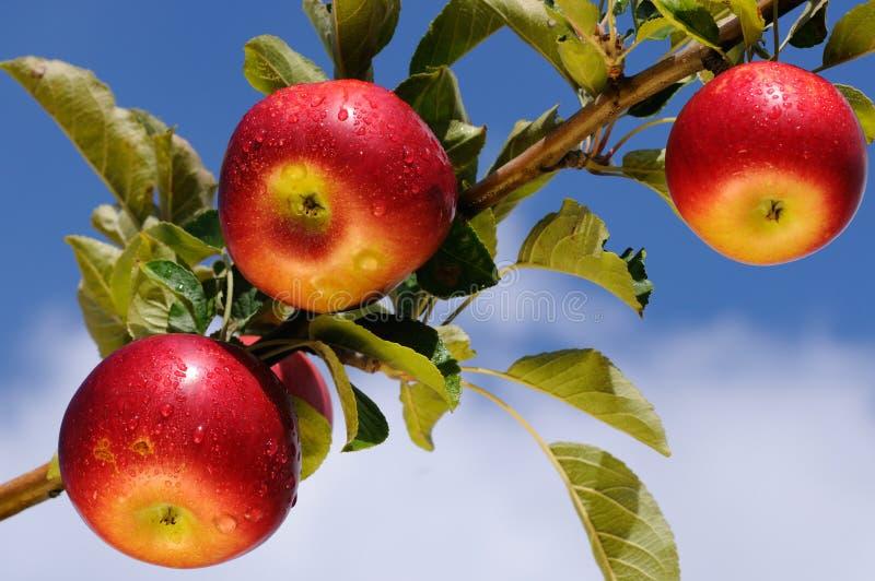Manzanas deliciosas brillantes fotografía de archivo libre de regalías