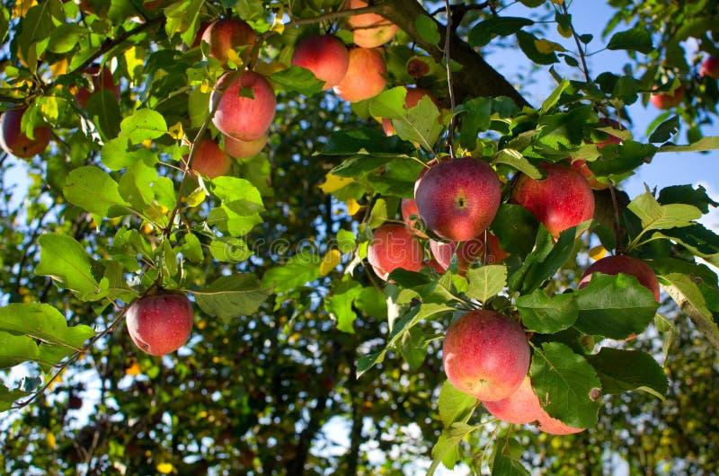 Manzanas en árbol foto de archivo libre de regalías