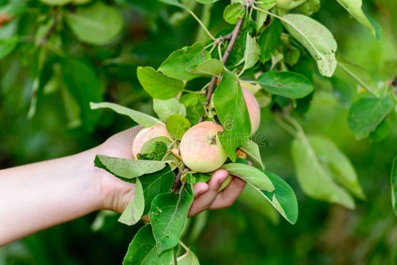 Manzanas en árbol en el jardín imagen de archivo libre de regalías