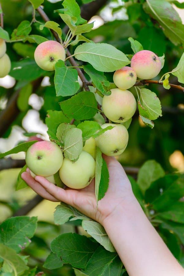 Manzanas en árbol en el jardín fotografía de archivo