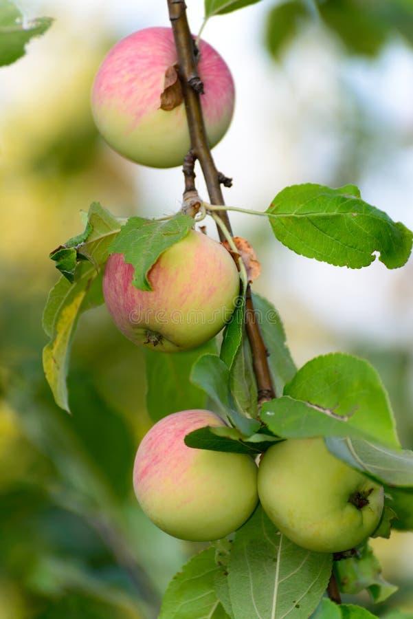 Manzanas en árbol en el jardín foto de archivo