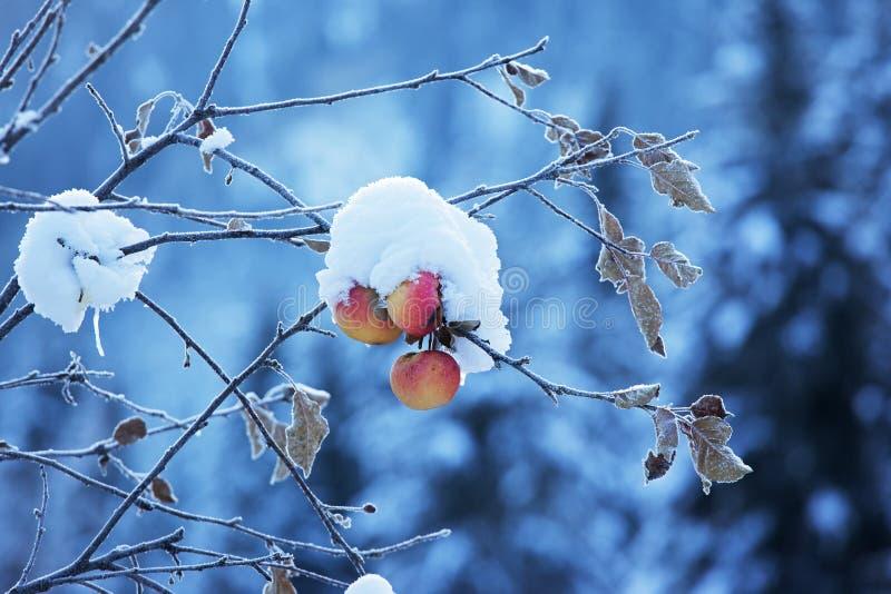 Manzanas en árbol y nieve imagen de archivo libre de regalías