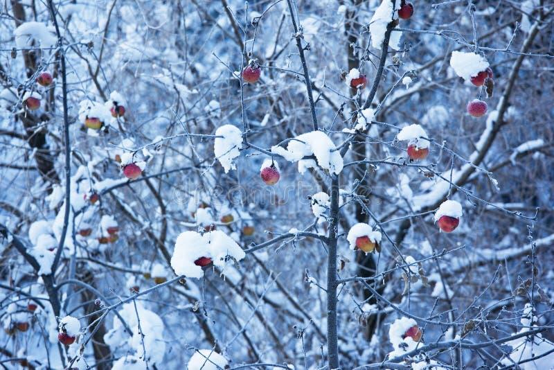 Manzanas en árbol y nieve imágenes de archivo libres de regalías