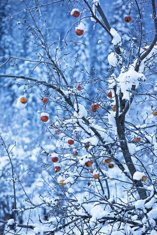 Manzanas en árbol y nieve foto de archivo libre de regalías
