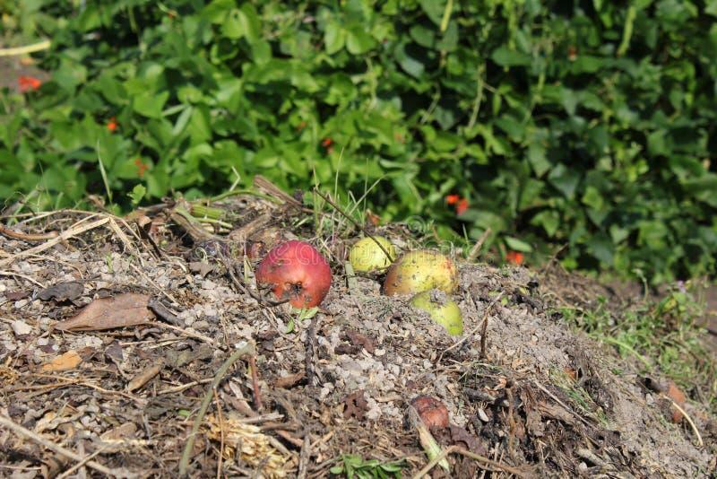 Manzanas en el montón del estiércol vegetal foto de archivo libre de regalías