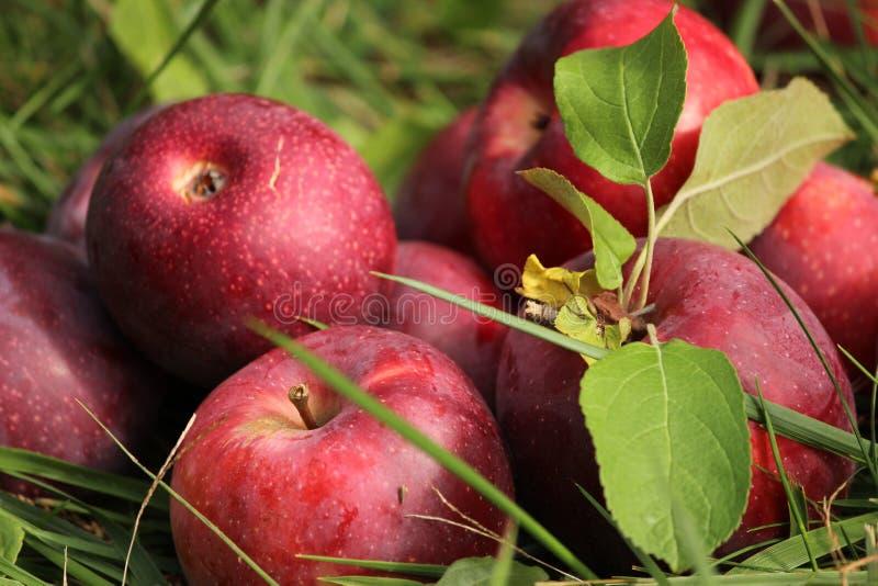Manzanas en hierba fotografía de archivo libre de regalías