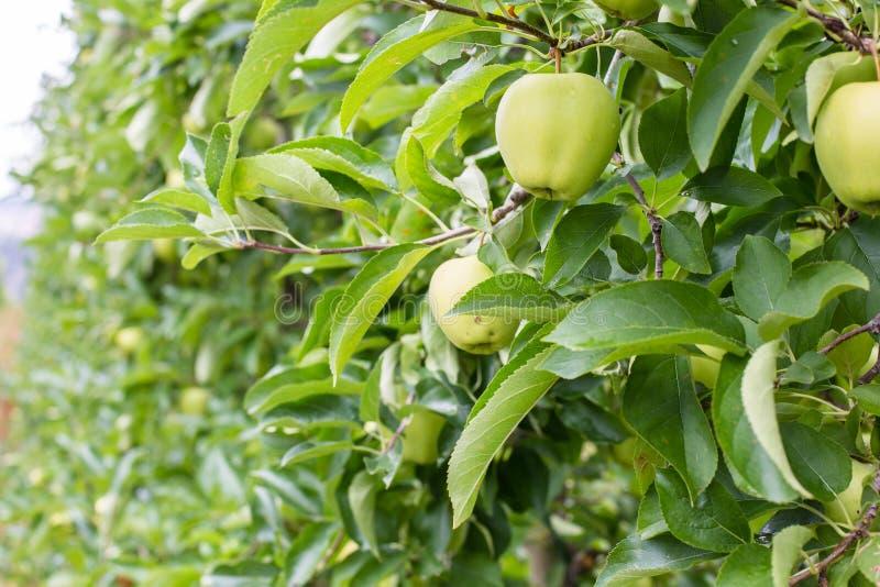 Manzanas en huertas de la montaña de Italia foto de archivo