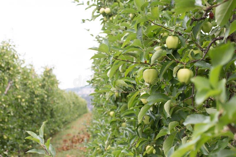 Manzanas en huertas de la montaña de Italia foto de archivo libre de regalías