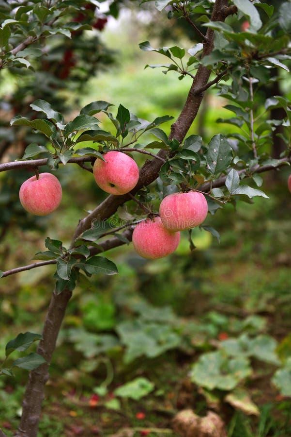 Manzanas en la huerta foto de archivo libre de regalías