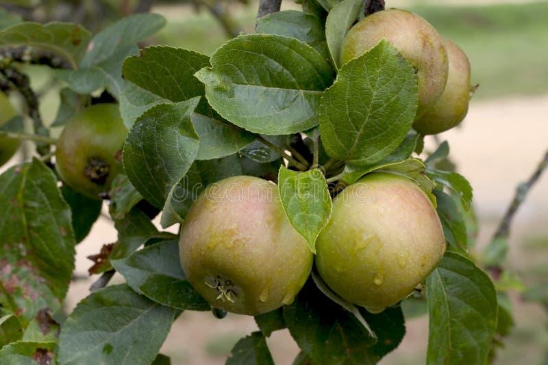 Download Manzanas en un árbol imagen de archivo. Imagen de fresco - 1285287
