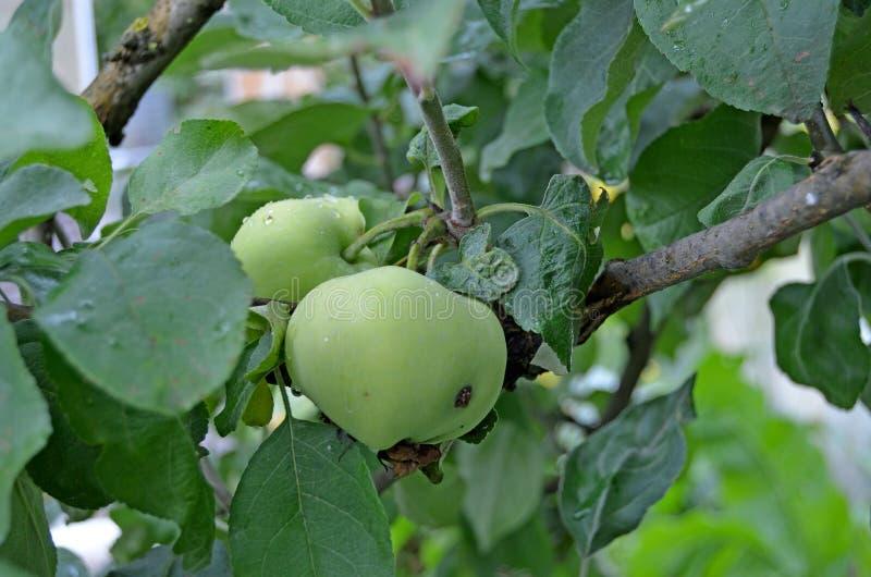 Manzanas en un cierre de la rama para arriba fotos de archivo libres de regalías