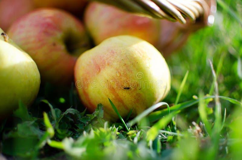 Manzanas en una cesta de madera en la hierba fotografía de archivo