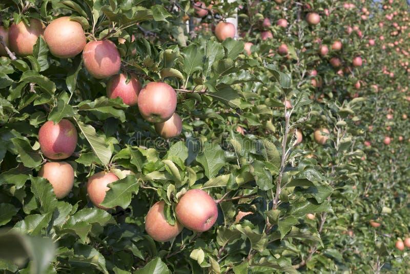Manzanas en una plantación en el Tyrol del sur, Italia fotos de archivo libres de regalías