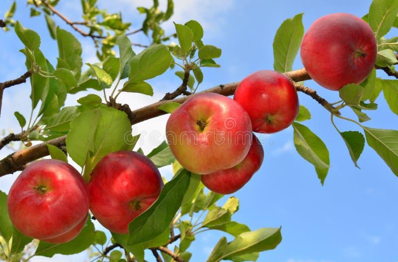 Manzanas en una ramificación fotos de archivo