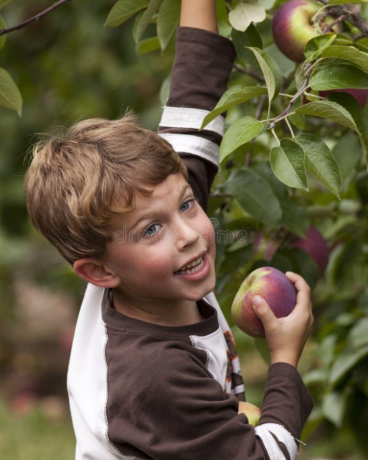 Manzanas felices de la cosecha del niño foto de archivo libre de regalías