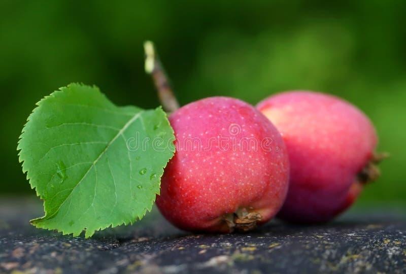 Manzanas frescas cosechadas fotografía de archivo libre de regalías