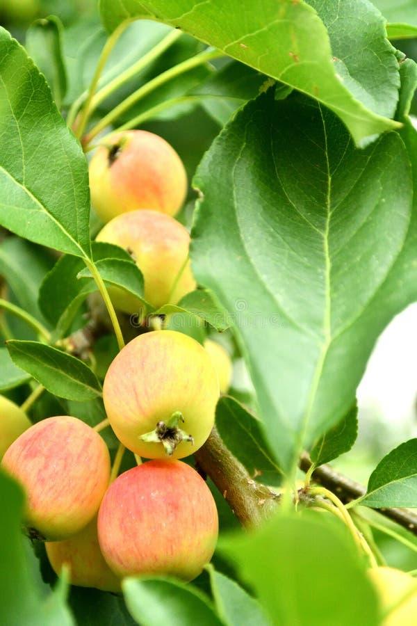 Manzanas frescas en el ?rbol fotos de archivo libres de regalías