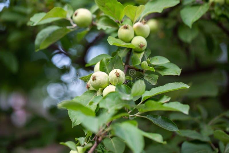 Manzanas jovenes en la rama Nueva cosecha Fondo enmascarado imagen de archivo libre de regalías