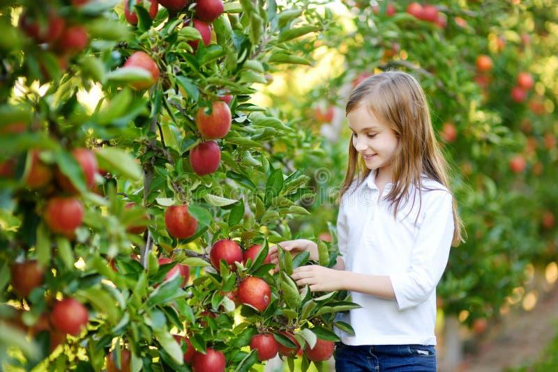 Manzanas lindas de la cosecha de la niña en huerta del manzano fotos de archivo