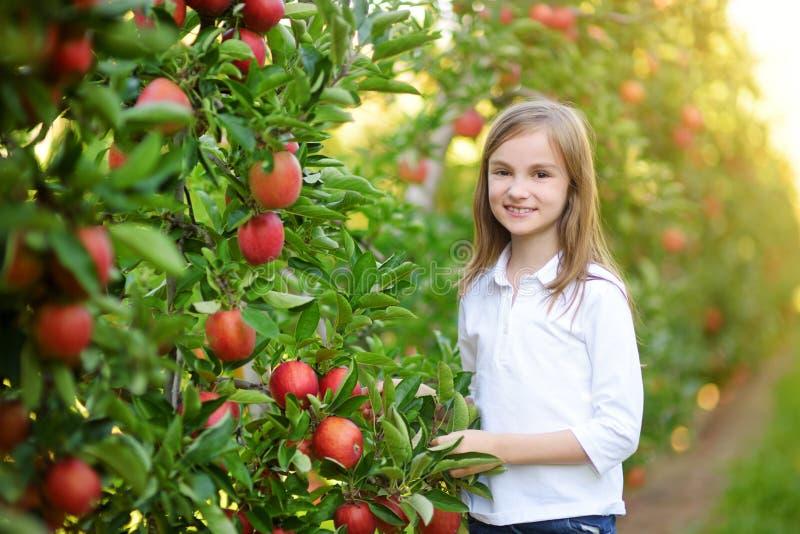 Manzanas lindas de la cosecha de la niña en huerta del manzano imagen de archivo