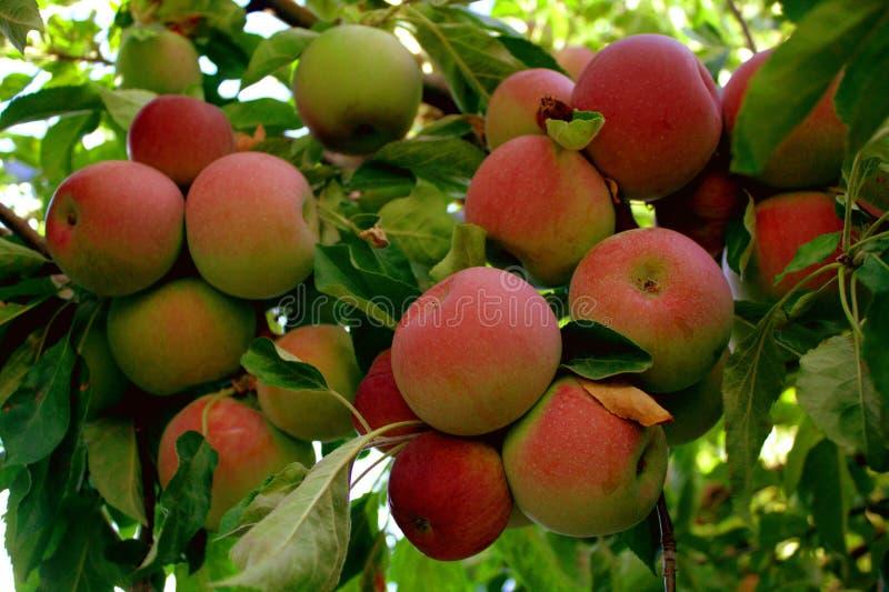Manzanas listas para escoger imagen de archivo libre de regalías