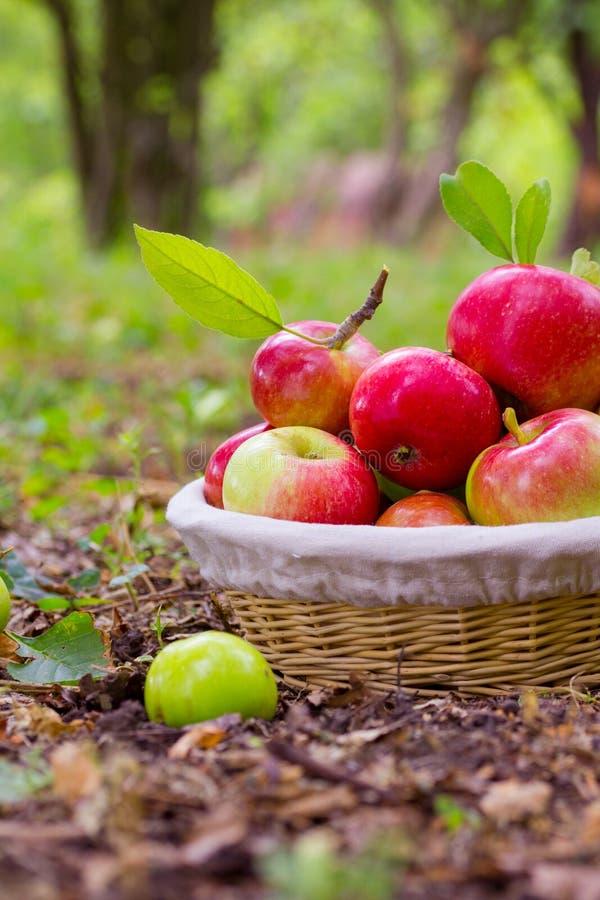 Manzanas maduras imagen de archivo libre de regalías