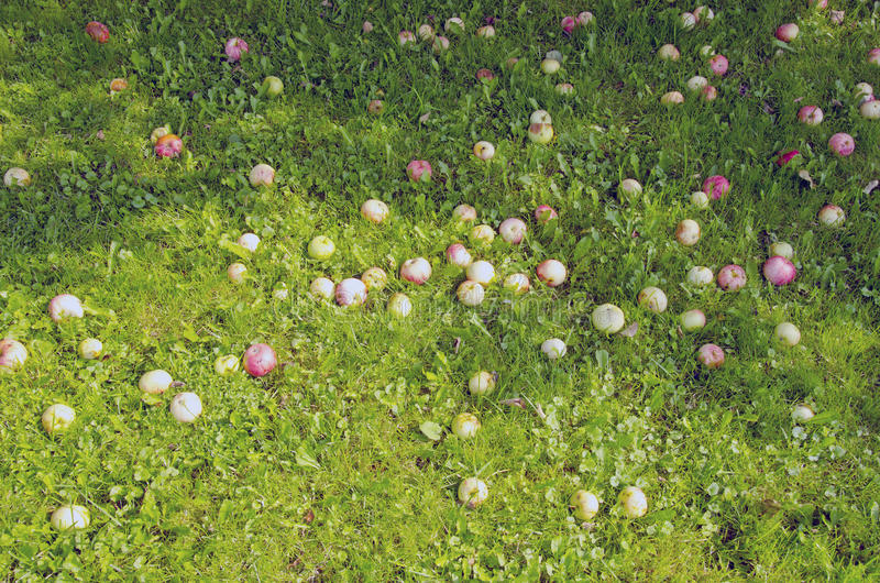 Manzanas maduras del fondo caidas en la sombra de tierra imagenes de archivo