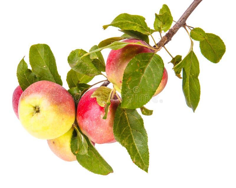 Manzanas maduras en una ramificación fotos de archivo
