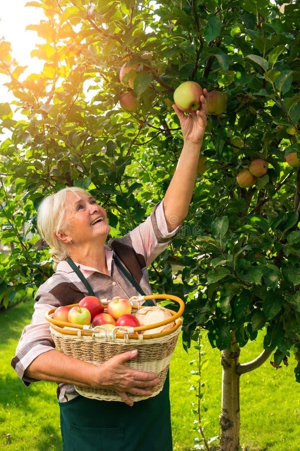 Manzanas mayores de la cosecha de la mujer imagenes de archivo