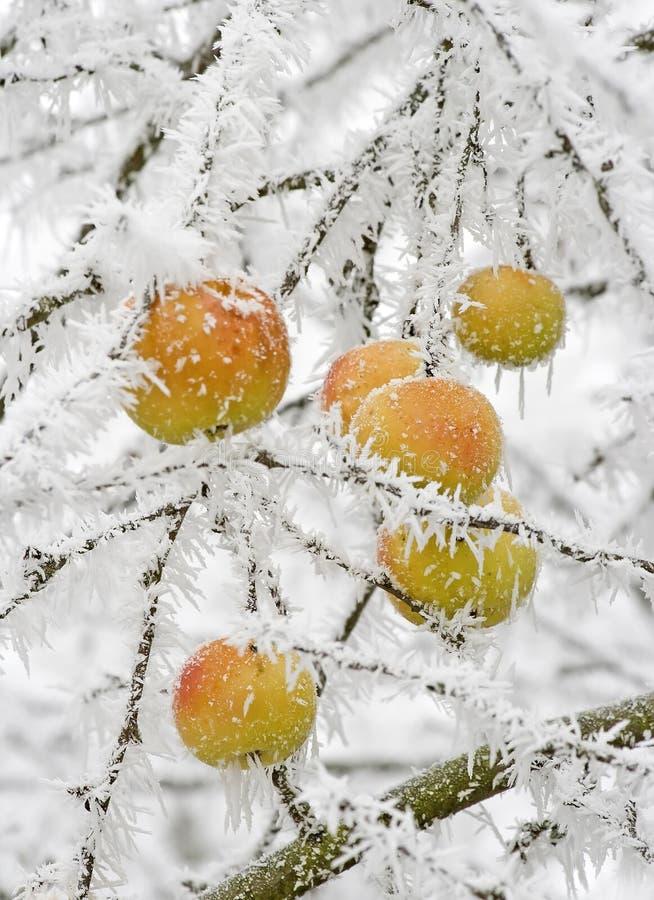 Manzanas Nevado foto de archivo