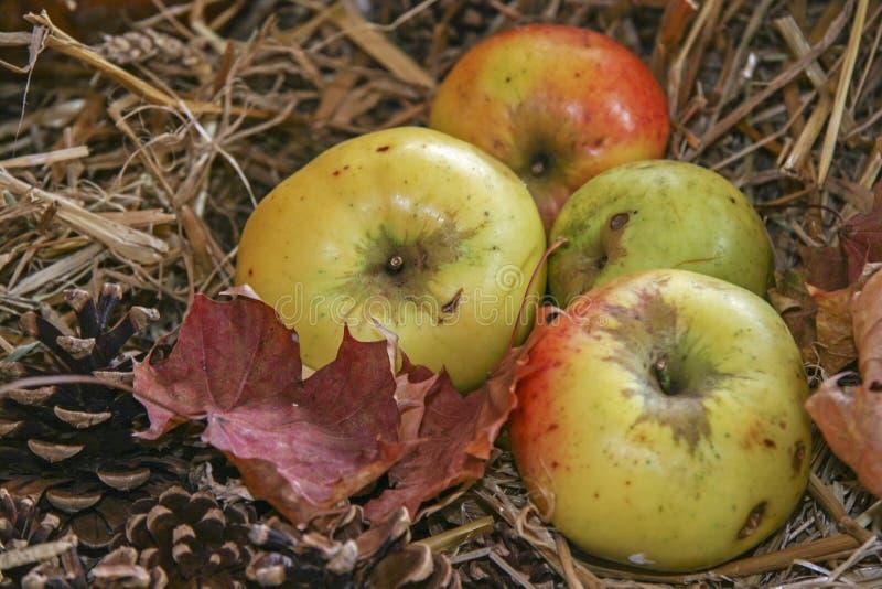Manzanas orgánicas del granjero imagen de archivo libre de regalías
