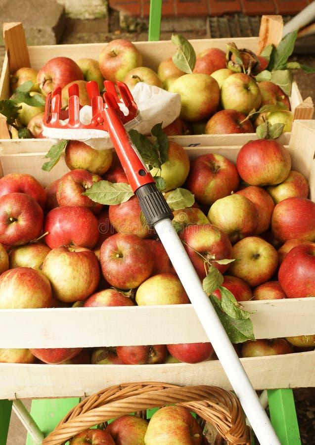 Manzanas orgánicas frescas, comida sana para los niños fotografía de archivo