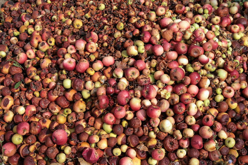 Manzanas putrefactas fotografía de archivo