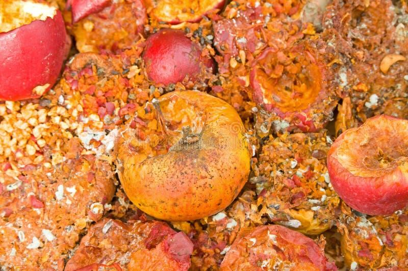 Manzanas putrefactas comidas en parte por los ratones. foto de archivo