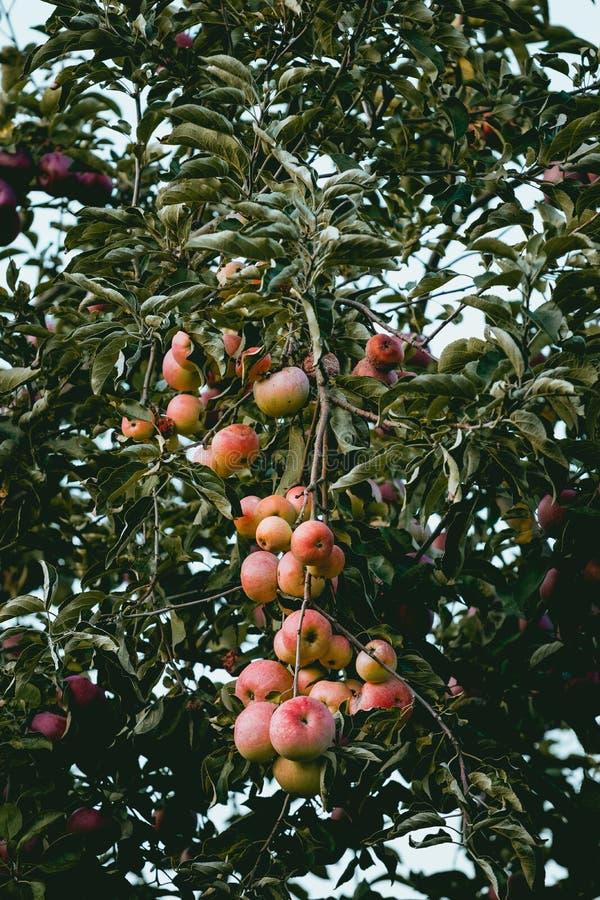 Manzanas que cuelgan en ?rbol imagen de archivo libre de regalías