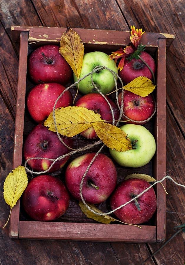 Manzanas recién cosechadas foto de archivo libre de regalías