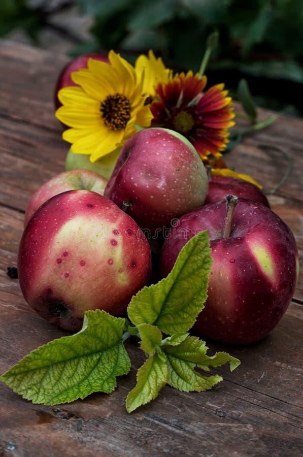 Manzanas recién cosechadas foto de archivo
