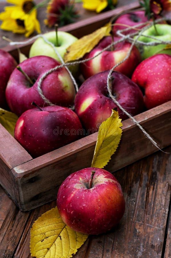 Manzanas recién cosechadas imagen de archivo