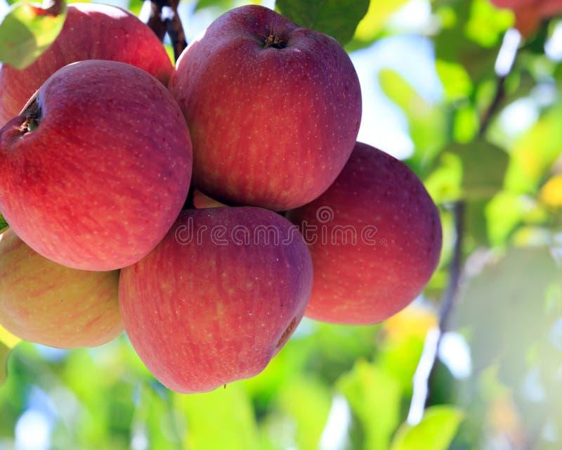 Manzanas rojas en árbol fotografía de archivo libre de regalías