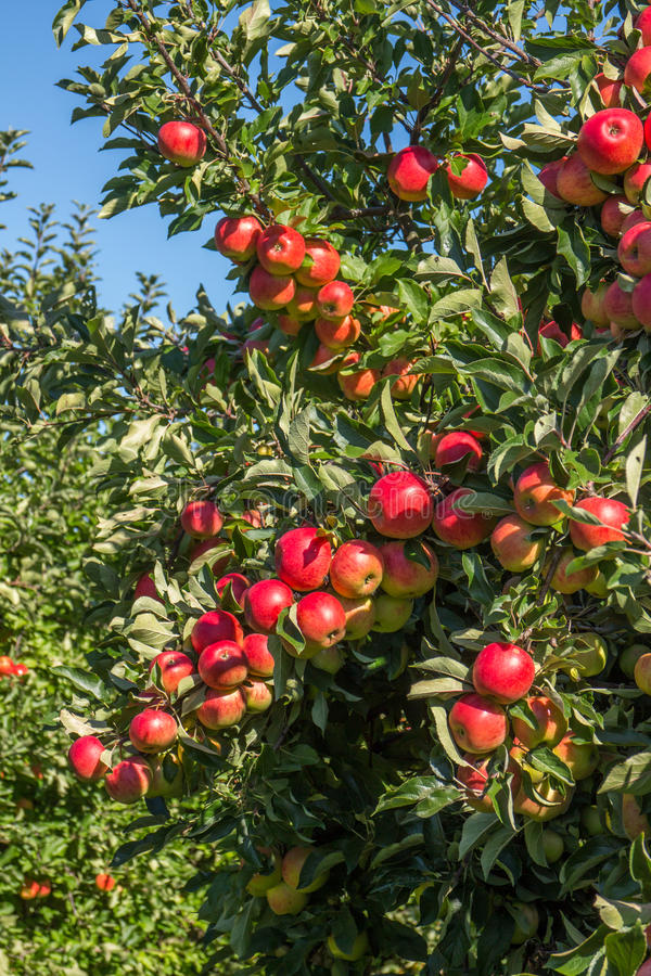Manzanas rojas en árbol en huerta fotografía de archivo libre de regalías