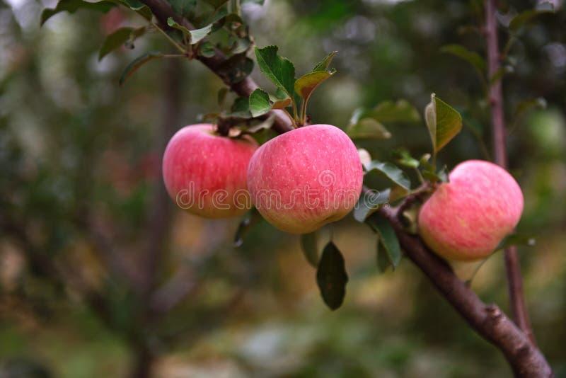 Manzanas rojas en la huerta fotos de archivo libres de regalías