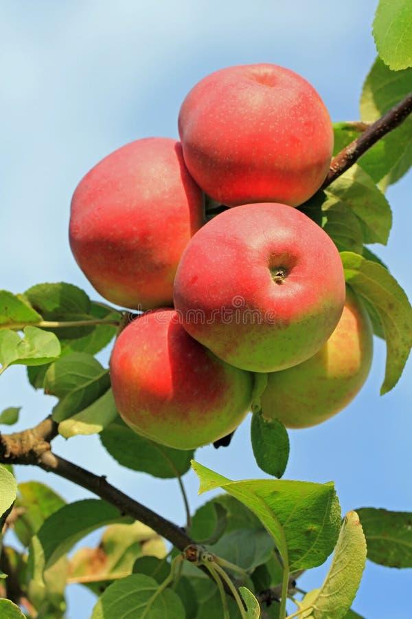 Manzanas rojas en un árbol foto de archivo libre de regalías