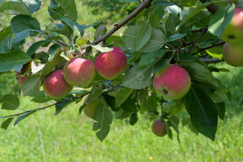 Manzanas rojas grandes en una rama foto de archivo