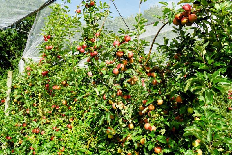 Manzanas rojas hermosas en árbol en la huerta foto de archivo libre de regalías