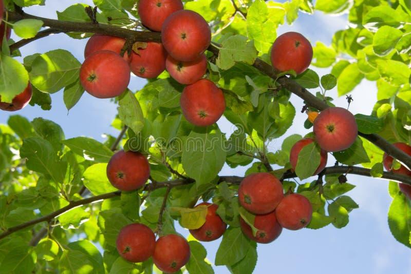Manzanas rojas maduras fotografía de archivo libre de regalías