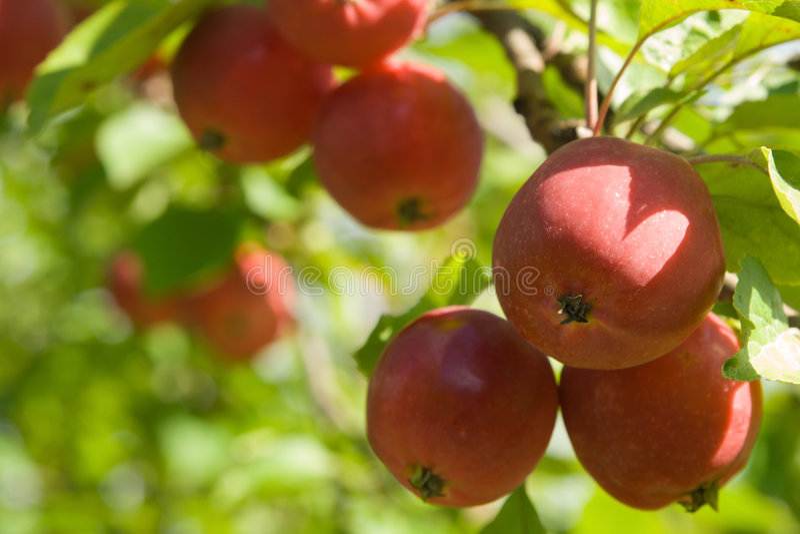 Manzanas rojas maduras imagenes de archivo