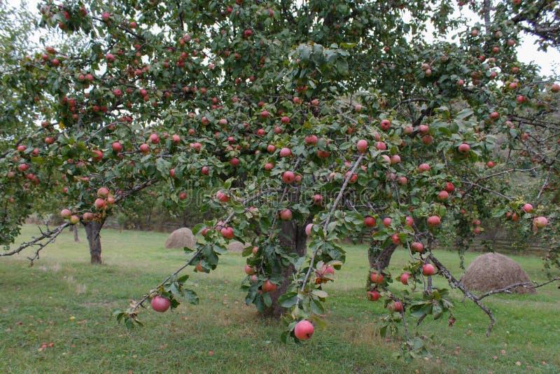 Manzanas rojas orgánicas listas para escoger en ramas de árbol ramifique con las frutas imagen de archivo