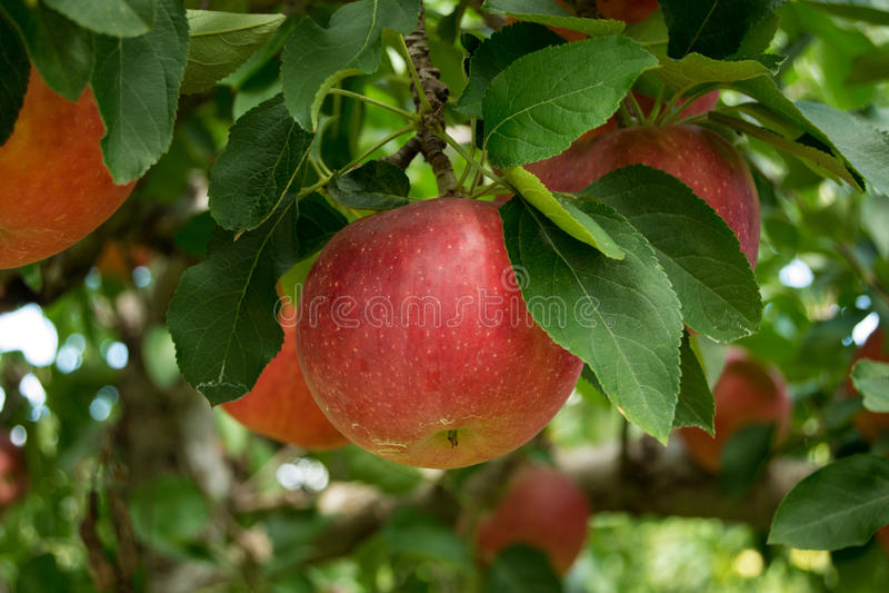 Download Manzanas Rojas Que Crecen En Un Manzano Imagen de archivo - Imagen de manzana, frutas: 44857731