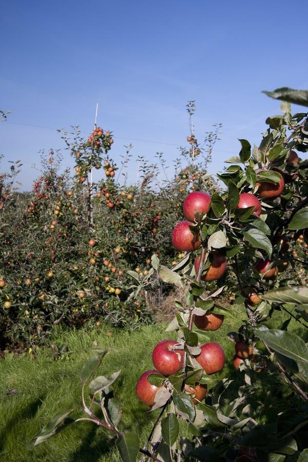 Manzanas rojas que crecen en una huerta fotos de archivo libres de regalías