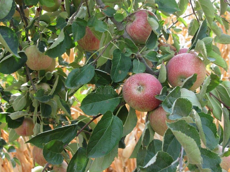 Manzanas rojas que cuelgan en un manzano creciente contra campo de maíz Toscana, Italia foto de archivo